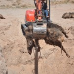 GRAPHIC IMAGES: BUNDY FAMILY UNEARTHS BLM MASS CATTLE GRAVE!
