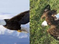 JUST IN: Look Who Now Has PERMISSION To KILL Bald Eagles… It's Not Who You Think