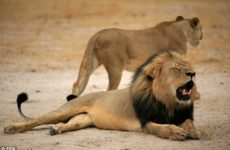 BREAKING: Liberals FREAK After Cecil The Lion's SON Gets HORRIBLE News, Here We Go AGAIN